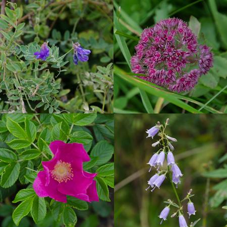 原生花園の花