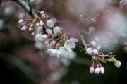 金剛峯寺バス停の桜