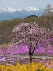 ひがしもこ芝桜公園