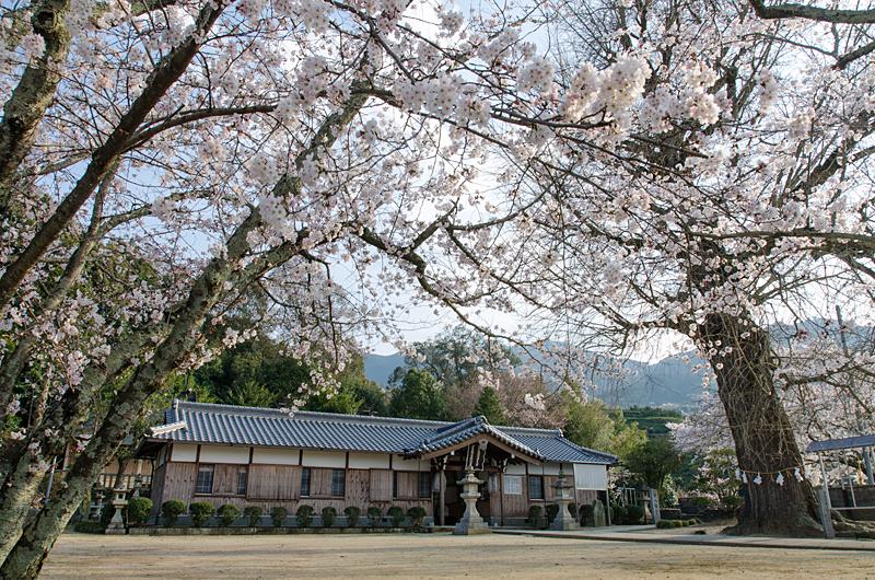 丹生酒殿神社の桜
