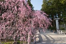 金剛峯寺のしだれ桜