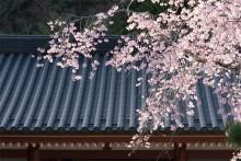 赤松院の桜