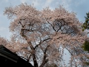 高野山もやっと桜が咲きました